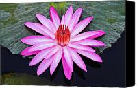 Framed Pink Lily Canvas Prints - Water Lily-St Lucia Canvas Print by Chester Williams