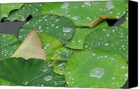 Outdoor Photo Canvas Prints - Waterdrops on lotus leaves Canvas Print by Silke Magino