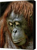 Orangutan Photo Canvas Prints - Wattana Canvas Print by Julie L Hoddinott
