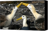 Galapagos Islands Canvas Prints - Waved Albatross Mating Ritual Canvas Print by Matt Tilghman