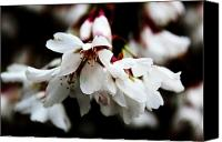 Trees Blossom Canvas Prints - Weeping Cherry Canvas Print by Toni Jackson