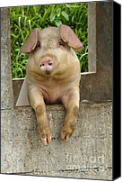 Pig Photo Canvas Prints - Well Hello There Canvas Print by Bob Christopher
