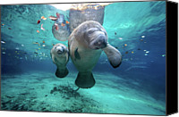 Sea Aquatic Canvas Prints - West Indian Manatees Canvas Print by James R.D. Scott