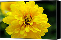 Wv Canvas Prints - West Virginia Marigold Canvas Print by Melissa Petrey