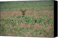 Roe Deer Canvas Prints - Western Roe Deer Capreolus Capreolus Canvas Print by Konrad Wothe