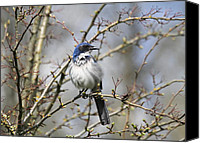 Scrub-jay Photo Canvas Prints - Western Scrub Jay Canvas Print by Angie Vogel