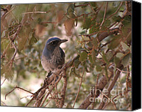 Scrub-jay Photo Canvas Prints - Western Scrub Jay Canvas Print by Chris Hill
