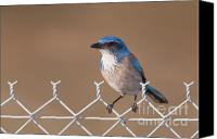 Scrub-jay Photo Canvas Prints - Western Scrub-Jay I Canvas Print by Clarence Holmes