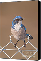 Scrub-jay Photo Canvas Prints - Western Scrub-Jay II Canvas Print by Clarence Holmes