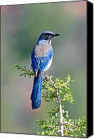 Scrub-jay Photo Canvas Prints - Western Scrub Jay in Arizona Canvas Print by Steven Love