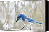 Scrub-jay Photo Canvas Prints - Western Scrub Jay Canvas Print by Sean Griffin