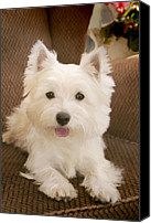 Armchair Digital Art Canvas Prints - Westie in armchair Canvas Print by Martin  Fry