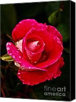 Rose Photography Canvas Prints - Wet Rose Canvas Print by Robert Bales