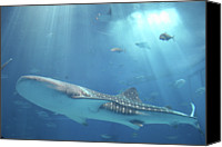 Whale Canvas Prints - Whale Shark Canvas Print by IMAZU Mitsumasa