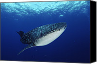 Whale Photo Canvas Prints - Whale Shark Rhincodon Typus Canvas Print by Jurgen Freund