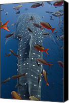Galapagos Islands Canvas Prints - Whale Shark Rhincodon Typus Swimming Canvas Print by Pete Oxford