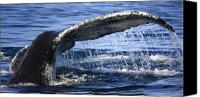 Whale Photo Canvas Prints - Whale Tail Canvas Print by Dapixara Art