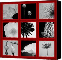 Crocus Canvas Prints - What is Black and White and Red All Over  Canvas Print by Lisa Knechtel