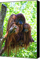 Orangutan Photo Canvas Prints - Whats up Canvas Print by Heiko Koehrer-Wagner