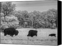 Bison Canvas Prints - Where the Buffalo Roam Canvas Print by Jane Linders