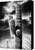 White Cacti Canvas Prints - Where the Cactus Grow Canvas Print by John Rizzuto