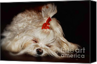 Maltese Canvas Prints - While Sugarplums Danced Canvas Print by Lois Bryan
