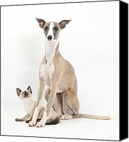 Whippet Canvas Prints - Whippet & Siamese Kitten Canvas Print by Mark Taylor