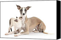 Whippet Canvas Prints - Whippet And Siamese Kitten Canvas Print by Mark Taylor