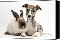 Whippet Canvas Prints - Whippet Pup With Colorpoint Rabbit Canvas Print by Mark Taylor