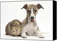 Whippet Canvas Prints - Whippet Pup With Guinea Pig Canvas Print by Mark Taylor