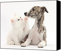 Whippet Canvas Prints - Whippet Puppy And Kitten Canvas Print by Mark Taylor