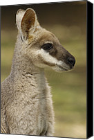 Wallaby Canvas Prints - Whiptail Wallaby Macropus Parryi Canvas Print by Pete Oxford
