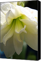 Amarillys Canvas Prints - White Amarillys Close Up Canvas Print by Christiane Schulze