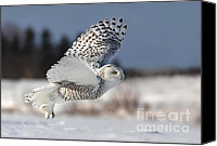 Bird Of Prey Canvas Prints - White angel - Snowy owl in flight Canvas Print by Mircea Costina Photography