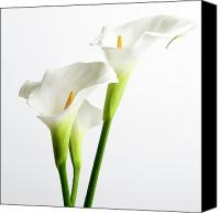 Indoors Inside Canvas Prints - White arums Canvas Print by Bernard Jaubert