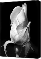 Rose Bud Canvas Prints - White Bud. Canvas Print by Terence Davis