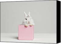 Fantasy Photo Canvas Prints - White Bunny Rabbit Wearing Tiara Sitting In Pink Box, Studio Shot Canvas Print by Roger Wright