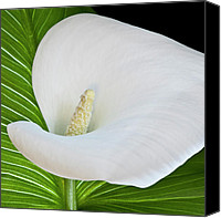 Callas Canvas Prints - White Calla Canvas Print by Heiko Koehrer-Wagner
