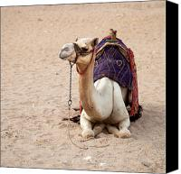 Arab Canvas Prints - White camel Canvas Print by Jane Rix