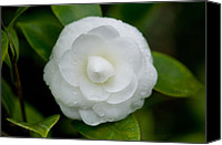 Camellia Canvas Prints - White Camellia Canvas Print by Rich Franco