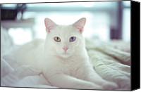 Animal Portrait Canvas Prints - White Cat Laying On Comfy Bed Canvas Print by by Dornveek Markkstyrn