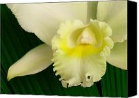 Cattleya Canvas Prints - White Cattleya Orchid Canvas Print by James Temple