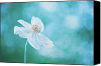 Provence Canvas Prints - White Cosmos Canvas Print by Alexandre Fundone