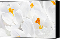 Crocus Canvas Prints - White crocus blossoms Canvas Print by Elena Elisseeva