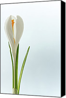 Crocus Canvas Prints - White Crocus Canvas Print by Daniel Kulinski