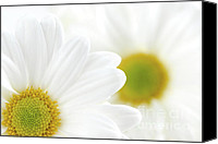 Innocence Canvas Prints - White daisies Canvas Print by Elena Elisseeva