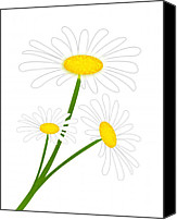 White Daisy Canvas Prints - White Daisy Canvas Print by Svetlana Sewell