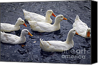 Geese Canvas Prints - White ducks Canvas Print by Elena Elisseeva