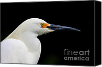 Snowy Egrets Canvas Prints - White Egret . 40D5434 Canvas Print by Wingsdomain Art and Photography