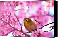 Pink Flower Branch Canvas Prints - White Eye Bird Canvas Print by masahiro Makino